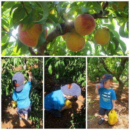 7-8-14 Peach orchard 2