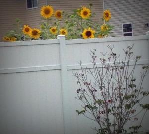 8-6-14 sunflowers 2
