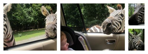 Zebras 9-1-14