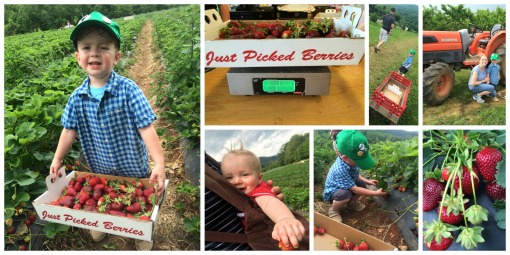 5-17-15 strawberry picking